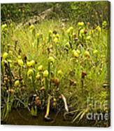 Darlingtonia Plants Grow Beside Canvas Print