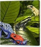 Dart-poison Frogs - Poison-dart Frogs Dendrobatidae - Baumsteiger Frosch - Pijlgifkikkers Canvas Print