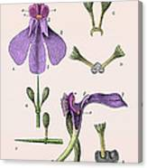 Darwins Orchis Pyramidalis, Illustration Canvas Print