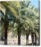 Date Palms Canvas Print