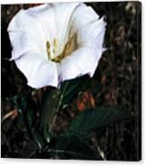 Datura Blossum Canvas Print
