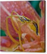 Day Lilly Stamens 1a Canvas Print