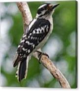 Daydreaming Downy Woodpecker Canvas Print