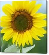 Dazzling Sunflower Canvas Print