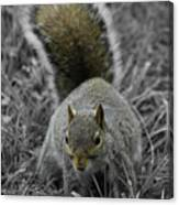 Dc Squirrel Canvas Print