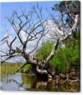 Dead Cedar Tree In Waccasassa Preserve Canvas Print