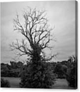 Dead Live Oak Canvas Print