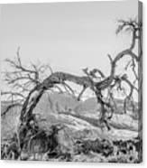 Dead Old Tree Near Monument Valley Arizona Canvas Print