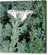 Dear Butterfly  Canvas Print