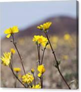 Death Valley Super Bloom 2016 Canvas Print