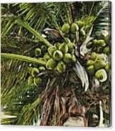 Debbie's Coconuts Canvas Print