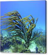 Deepwater Gorgonia Just Flowing In The Wind Canvas Print