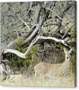 Deer 009 Canvas Print
