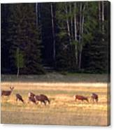 Deer At Kaibab Meadows Canvas Print