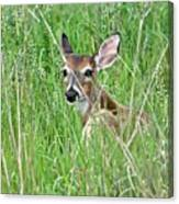 Deer Bedded Down During Mid Day Canvas Print