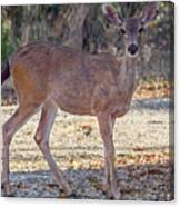 Deer Doe - 2 Canvas Print