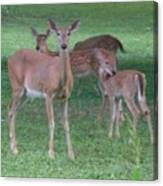Deer Family Out For Evening Stroll Canvas Print