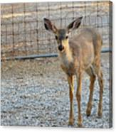 Deer Fawn - 1 Canvas Print