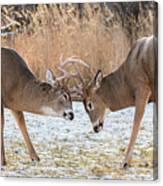 Deer Fight Canvas Print