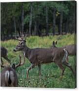 Deer herd Canvas Print