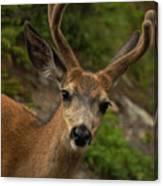 Deer IIi Canvas Print