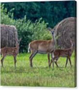 Deer In A Hay Field Canvas Print