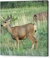 Deer In Boulder Colorado Canvas Print