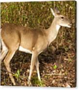 Deer In Morning Ligh Canvas Print