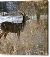Deer in Morning light Canvas Print