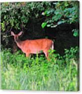 Deer In Overhang Of Trees Canvas Print