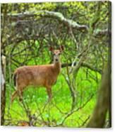 Deer In Shanendoah Mountains Canvas Print