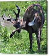 Deer Itch 2 Canvas Print