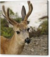 Deer Iv Canvas Print