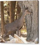 Deer On The Look Out Canvas Print