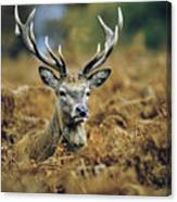 Deer Rests In Bracken Canvas Print