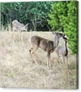 Deer24 Canvas Print