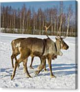Deers Running On Snow Canvas Print