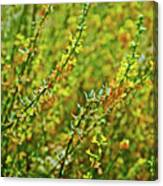 Deerweed In Rancho Santa Ana Botanic Gardens, Claremont-california Canvas Print