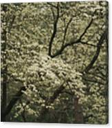Delicate White Dogwood Blossoms Cover Canvas Print