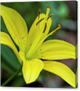 Delicate Yellow Oriental Lily Canvas Print