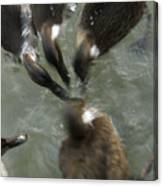 Denmark Group Of Ducks Ducking Canvas Print
