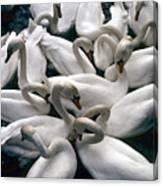 Denmark Swans Gathered On A Lake Canvas Print