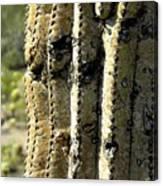 Desert Cactus 6 Canvas Print