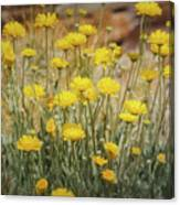 Desert Marigold Bouquet  Canvas Print