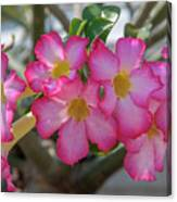 Desert Rose Or Chuanchom Dthb2105 Canvas Print