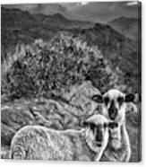 Desert Sheep Canvas Print