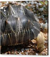 Desert Turtle With An Unusual Shell In The Wild Canvas Print