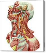 Detailed Dissection View Of Human Neck Canvas Print