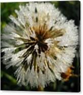 Dew Covered Dandelion Canvas Print