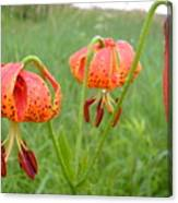 Dew Covered Tiger Lilies Canvas Print